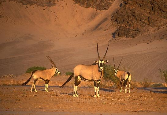 Gemsbok, Hoanib river, Namibia - wildlife030