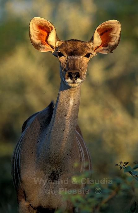 Female kudu antelope, Etosha, Namibia: wildlife057