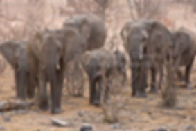 Elephant herd in Mopane savanna, Etosha, Namibia - elephants100