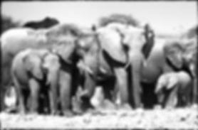 Elephant herd drinking, Etosha, Namibia _ Black-White046