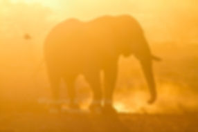 Elephant dust bathing at sunset, Etosha, Namibia - elephants028