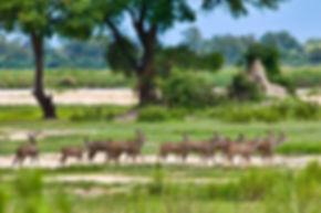 Kudu herd, Kavango river, Namibia - wildlife028