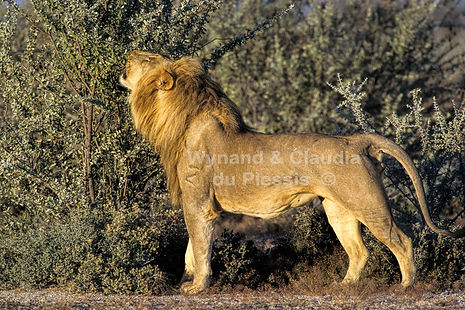 Lion marking bush, Etosha: lion035