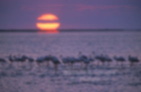 Flamingoes at sunset, Walvis Bay lagoon, Namibia - birds021
