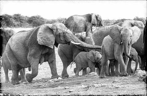 Elephant herd with young, Etosha, Namibia _ Black-White002