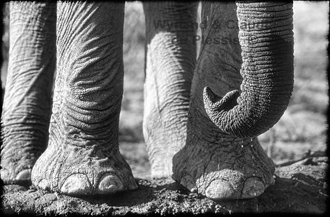 Elephant trunk tip, Etosha, Namibia _ Black-White011