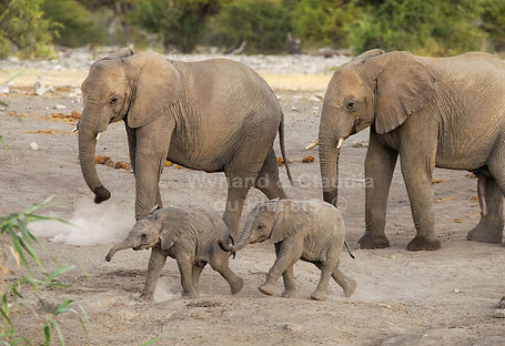 Elephant babies racing, Etosha - elephants033