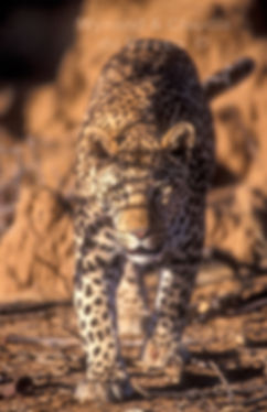 Leopard at Okonjima Nature Reserve: wildlife063
