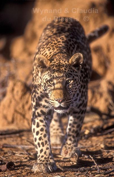 Leopard at Okonjima Nature Reserve: wildlife063