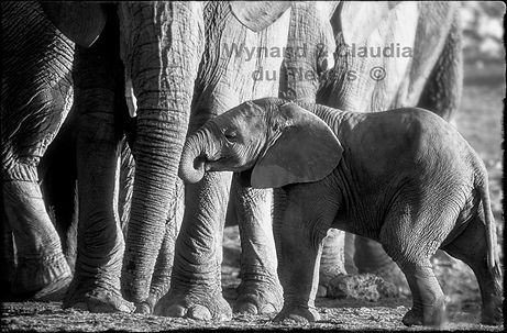 Elephant baby with mother, Etosha, Namibia _ Black-White062