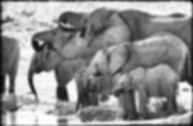Elephants drinking, Etosha, Namibia _ Black-White041