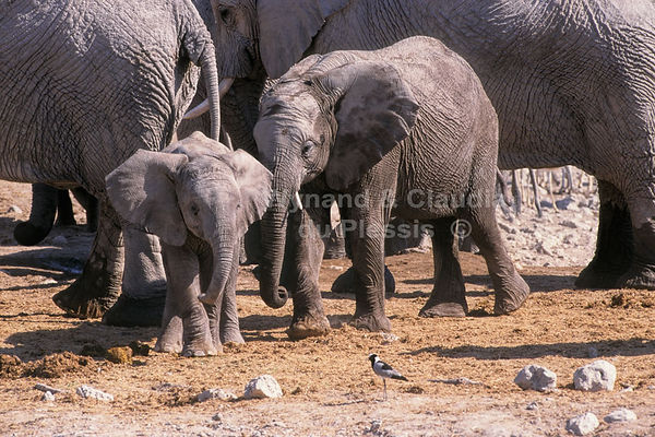 Elephant babies with herd, Etosha, Namibia: elephants151