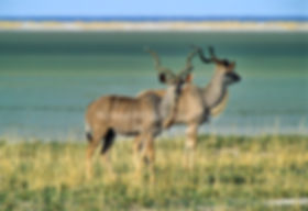 Kudu bulls in front of the Etosha Pan, Namibia - wildlife027