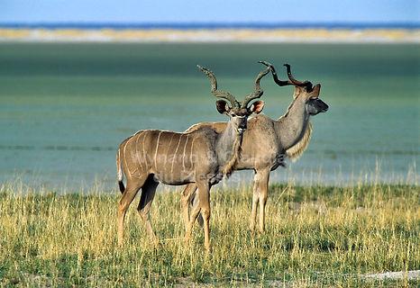 Kudu bulls in front of the Etosha Pan, Namibia - wildlife027