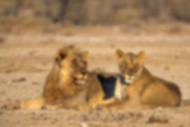 Lion couple, Etosha, Namibia: lion012