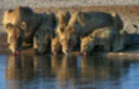 Lions drinking, Etosha, Namibia: lion004