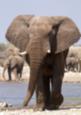 Elephant bull, Etosha, Namibia - elephants043