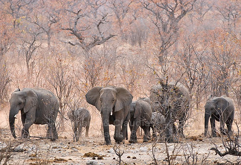 Elephant herd in Mopane savanna, Etosha, Namibia - elephants009