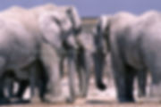 Elephants covered in white mud at Nebrownii waterhole, Etosha, Namibia: elephants156