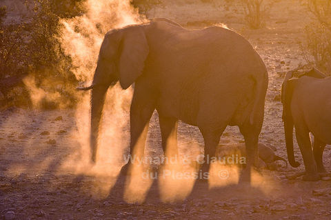 Elephant dust bathing at sunset, Etosha, Namibia - elephants027
