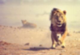 lion charging etosha namibia claudia du plessis
