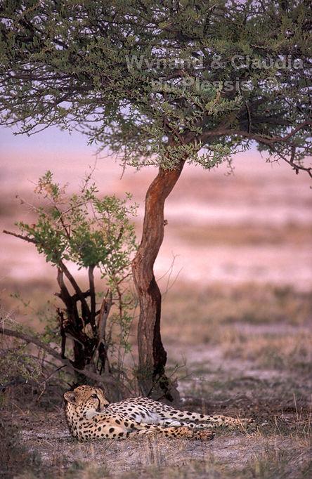 Cheetah at sunset, Etosha Pan: wildlife056