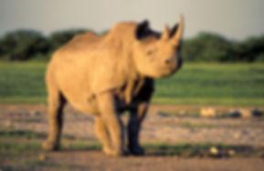 Black rhinoceros, Etosha, Namibia - wildlife005