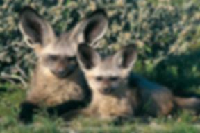 Bat-eared fox with young, Etosha: wildlife044