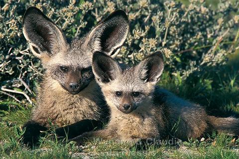 Bat-eared fox with young, Etosha: wildlife044
