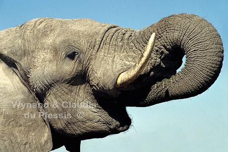 Elephant drinking, Etosha, Namibia - elephants063