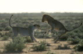 Lions play-fighting, Etosha: lion043