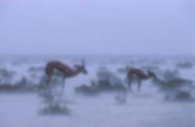 Springbok in rainstorm, Etosha, Namibia - wildlife024