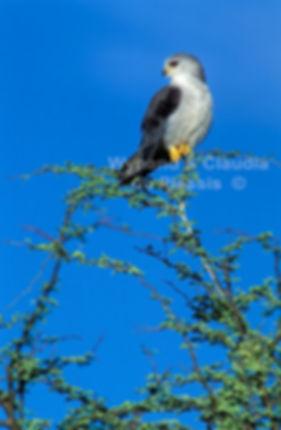 Black Kite, Etosha, Namibia - birds025