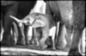 Elephant baby, Etosha, Namibia _ Black-White025