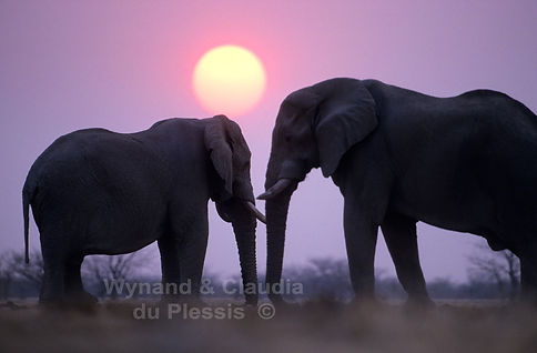 Elephant bulls at sunset, Etosha, Namibia - elephants091