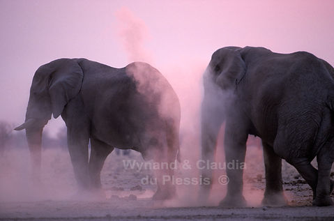 Elephant bulls dust bathing at sunset, Etosha, Namibia - elephants092