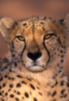 Cheetah portrait, Namibia - wildlife029