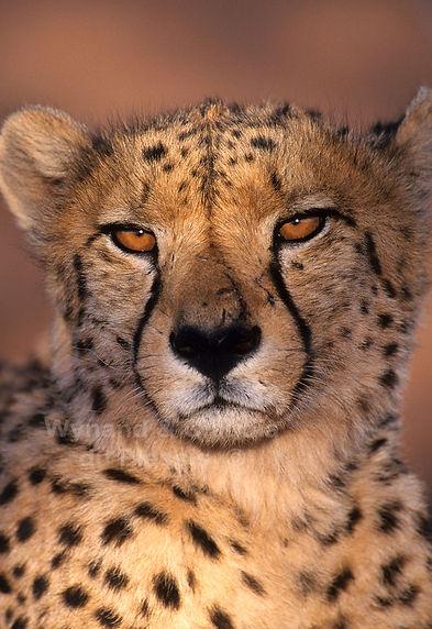 Cheetah portrait, Namibia - wildlife029