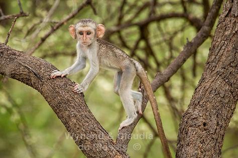 Vervet monkey baby in tree, Caprivi: wildlife047