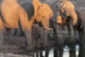 Elephants drinking, Etosha, Namibia: elephants113