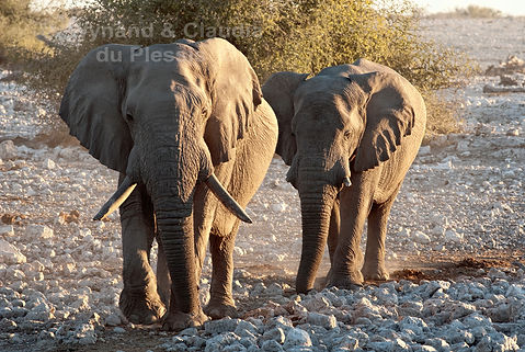 Elephant bull with large tusks, Etosha, Namibia - elephants080