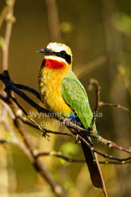 Whitefronted Bee-eater, Caprivi, Namibia - birds048