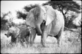 Elephants browsing on Acacia shrub, Etosha, Namibia _ Black-White016