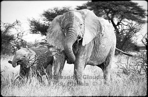 Elephants browsing on Acacia shrub, Etosha, Namibia _ Black-White016