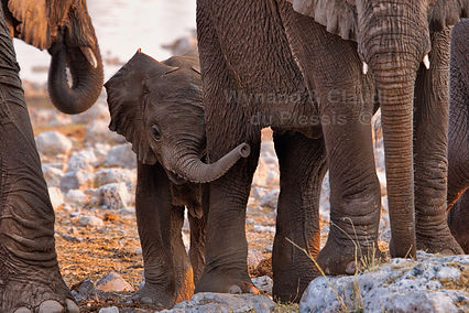Elephant baby with herd, Etosha - elephants167