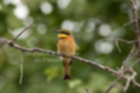 Little Bee-eater, Caprivi, Namibia - birds035