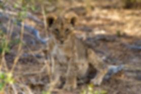 Lion cub, Etosha: lion046