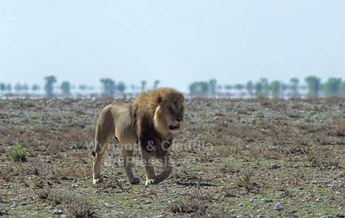 Alpha male lion on the Etosha plains: lion049