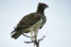 Martial Eagle, Etosha, Namibia - birds052