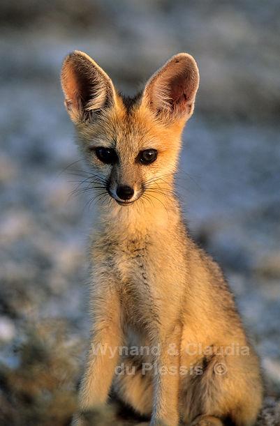 Cape fox portrait, Etosha, Namibia: wildlife059
